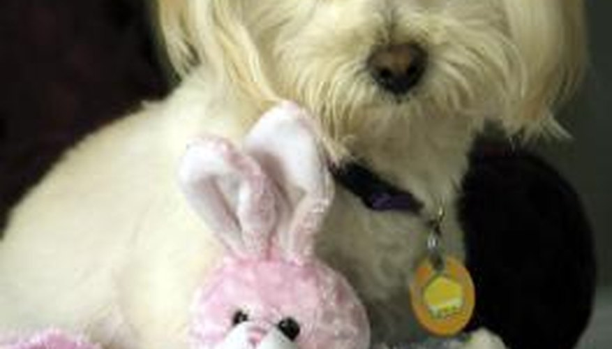 A Westiepoo is a cross between a poodle and a West Highland terrier.