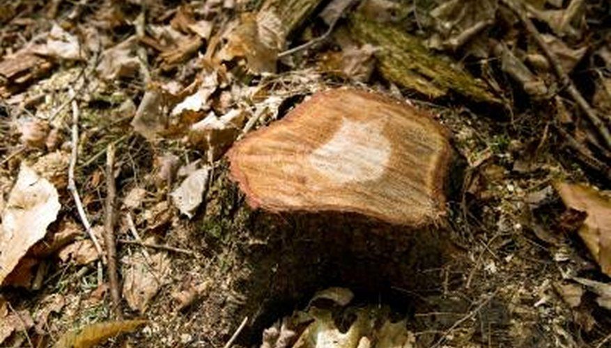 Tree stumps may be destroyed in place.
