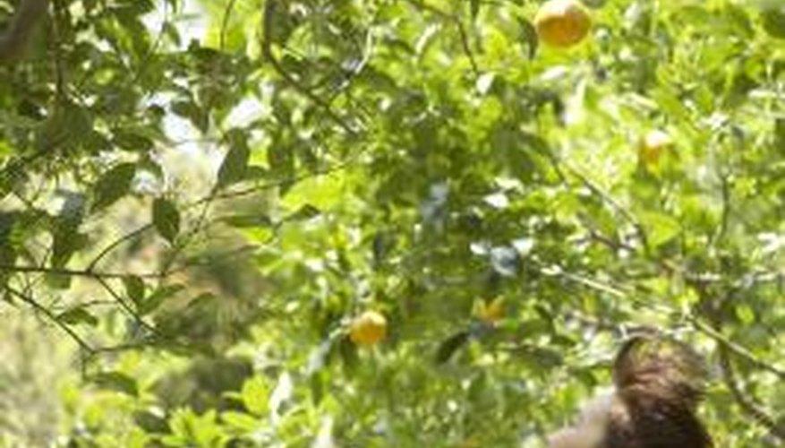 Lemon trees are evergreen, not winter deciduous.
