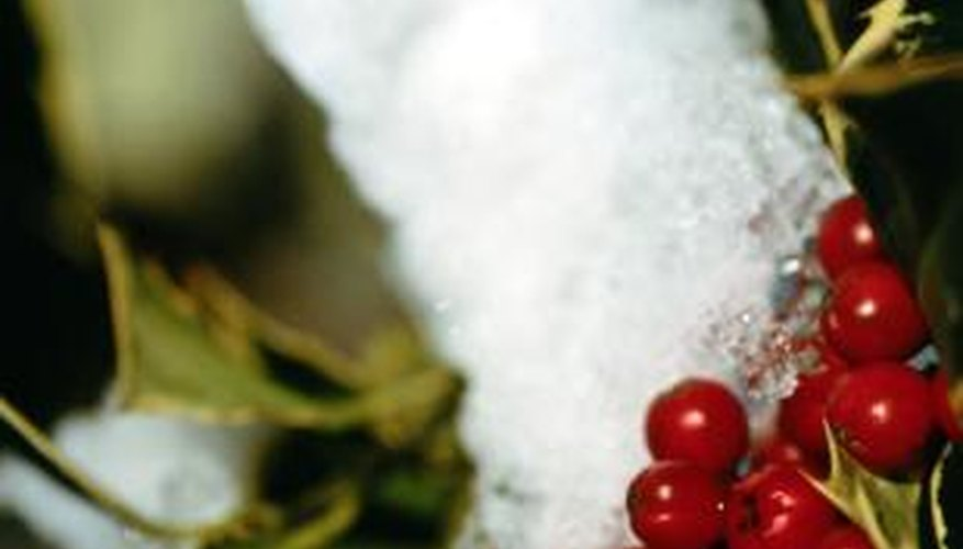 Many evergreen shrubs, like holly, have bright red berries throughout the winter.