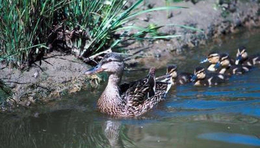 Ducks feed on pond snails.