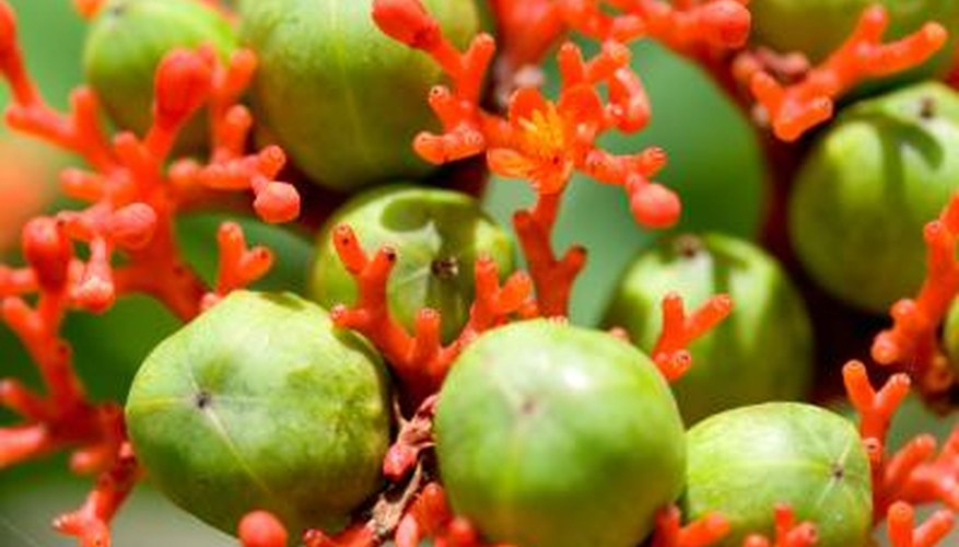 The sapote is a tropical tree of Mexican and Central American origin.