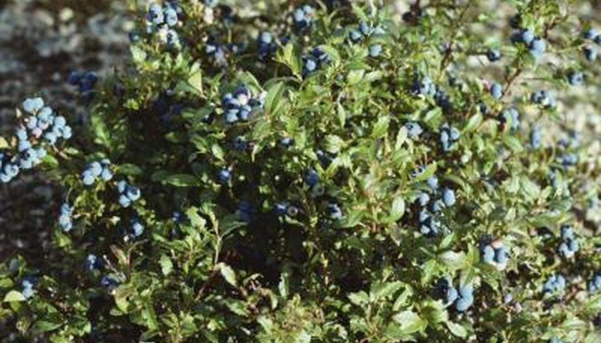 Wild blueberries are not only tasty, but free of painful thorns.