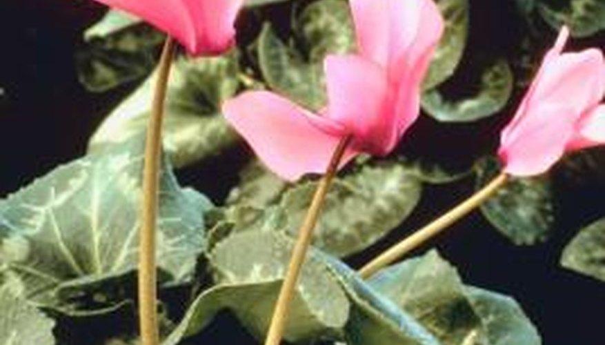 Cyclamen is grown as a houseplant.