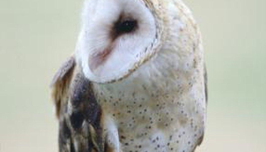 A female barn owl observes her surroundings.