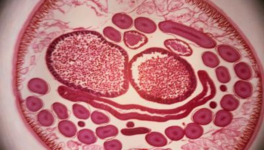 Roundworms live in the intestines of hosts such as pets and humans.