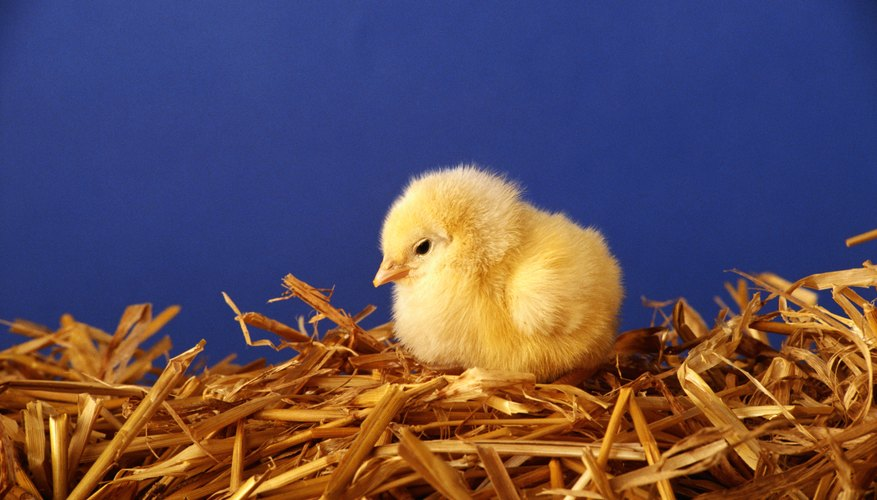 Preschool children will love learning about chickens and eggs.