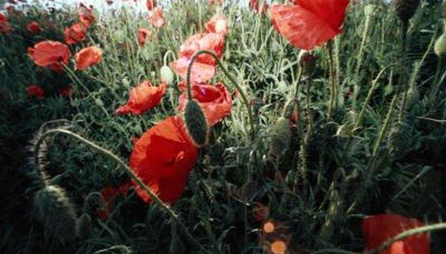 Poppies spread by self-seeding.