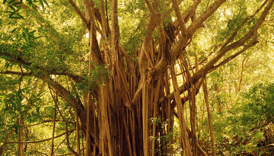 Banyan seeds usually germinate in free-draining tree branch pockets.
