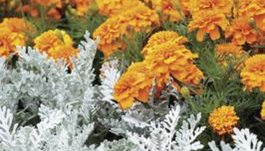 Dusty Miller in the foreground contrasts well with bright, sunny marigolds.