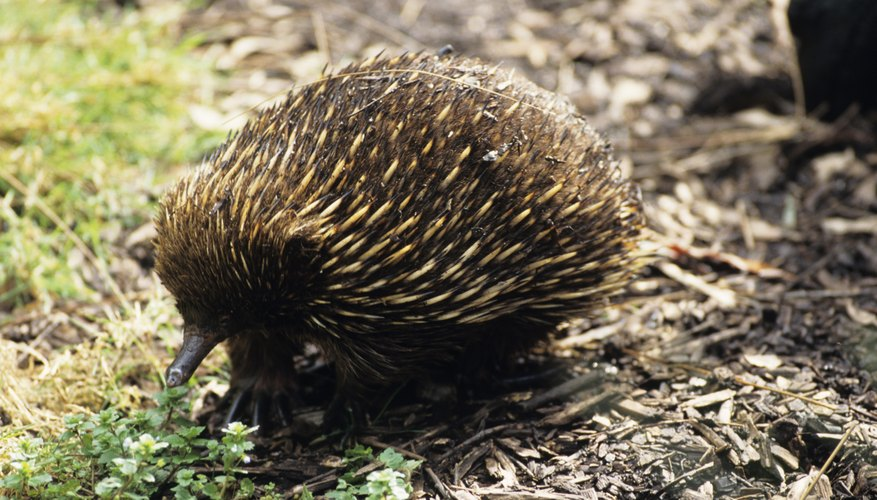 The ecihdna or spiny anteater is one of the few mammals to lay eggs.