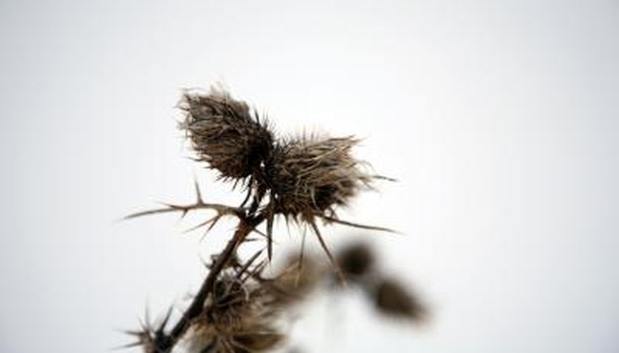 Several types of weed have thorns that can cause injuries.