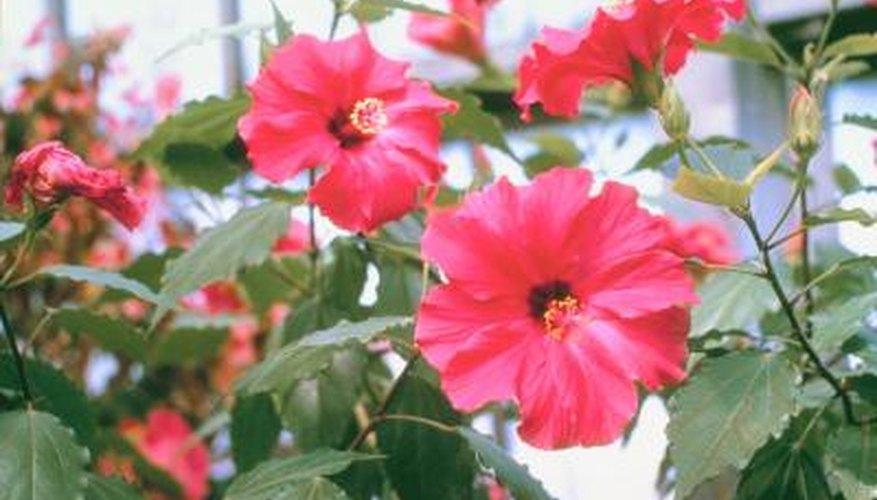 Gumamela is a Filipino word for hibiscus.