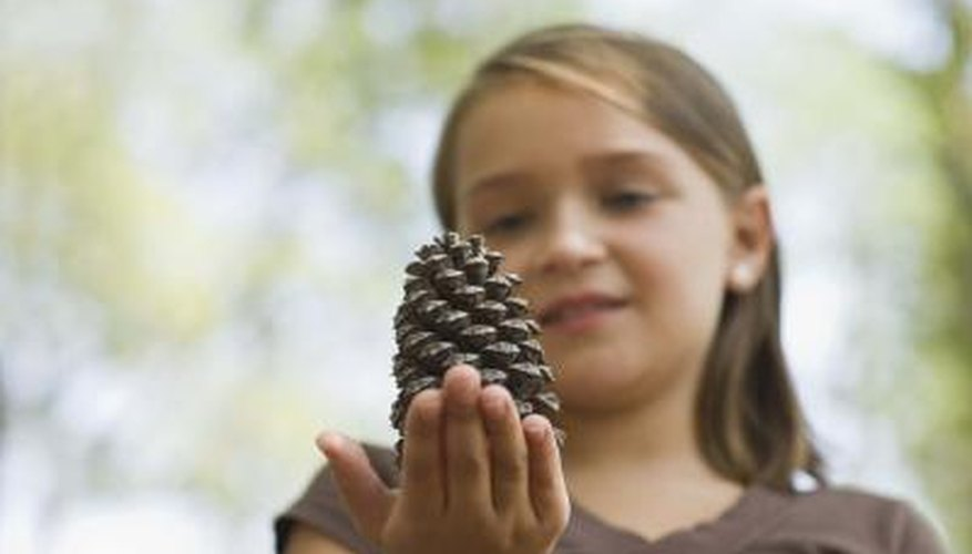 Pine cones linger on branches for two to three years before maturing.