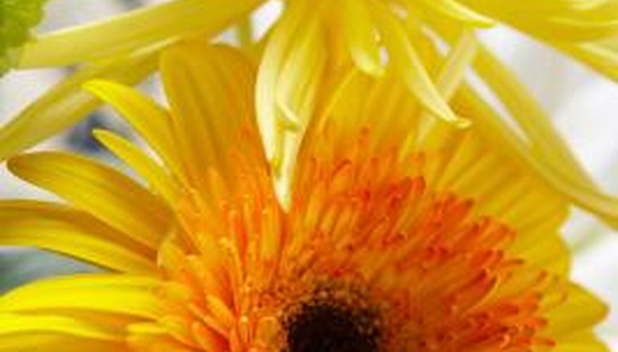 Marigolds have vibrant flowers for one season.