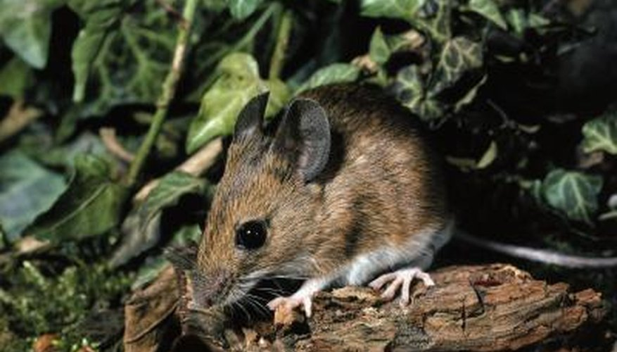 Mice can cause a lot of damage to a garden.