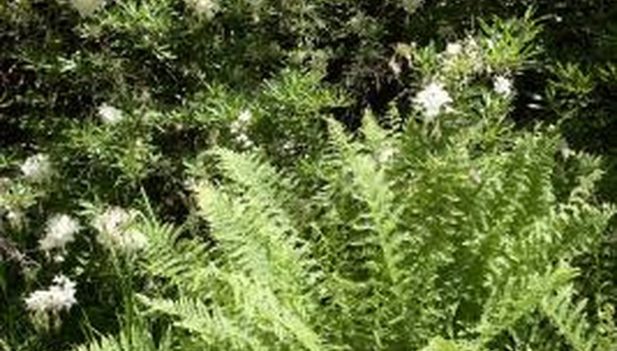 Giant ostrich ferns grow from tiny spores into towering plants.