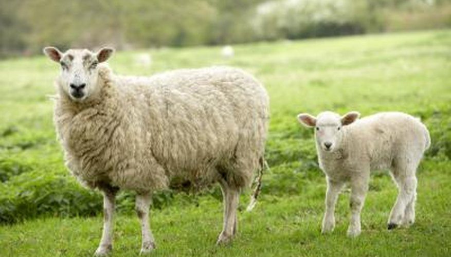 Sheep are very agile creatures.