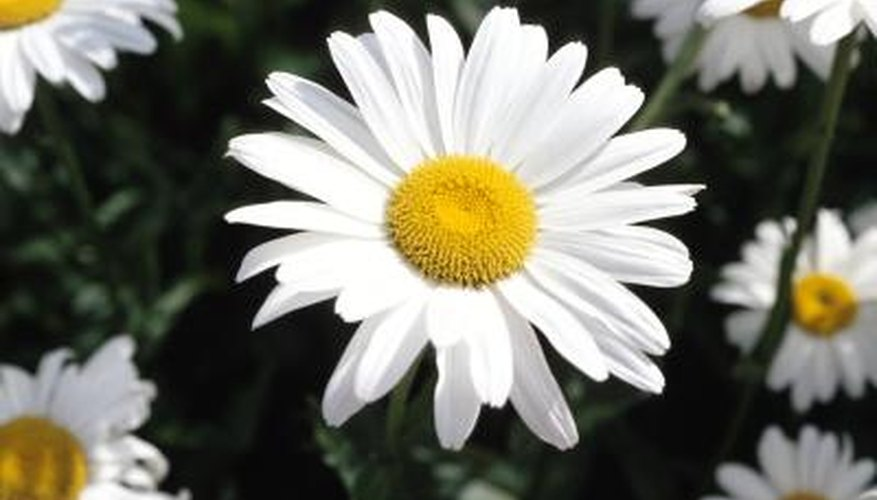 Marguerite daisies are cheerful, easy-care flowers.