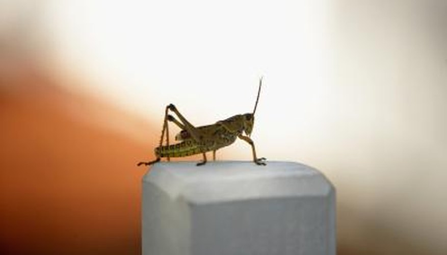 Eliminating grasshoppers and crickets can be done several different ways.
