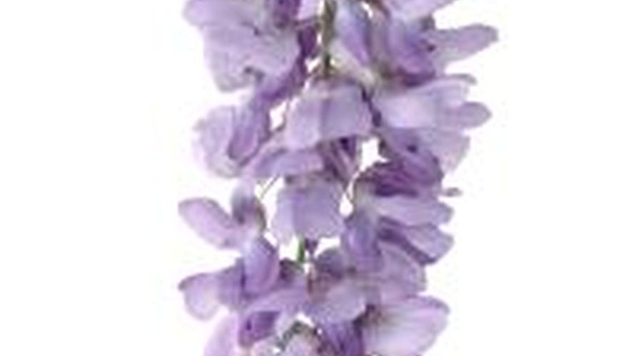 A pendant raceme cluster of Japanese wisteria flowers