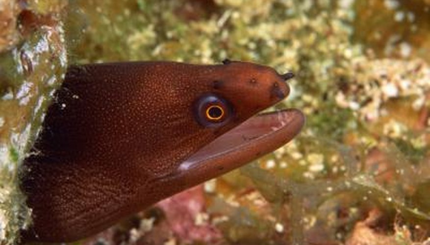 Eels eat a wide range of fish and marine life.