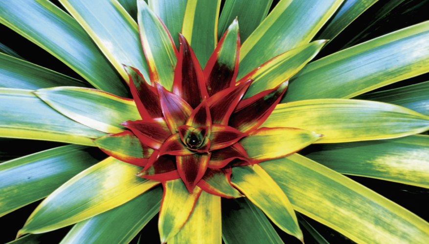 Bromeliads are originally from South American forests
