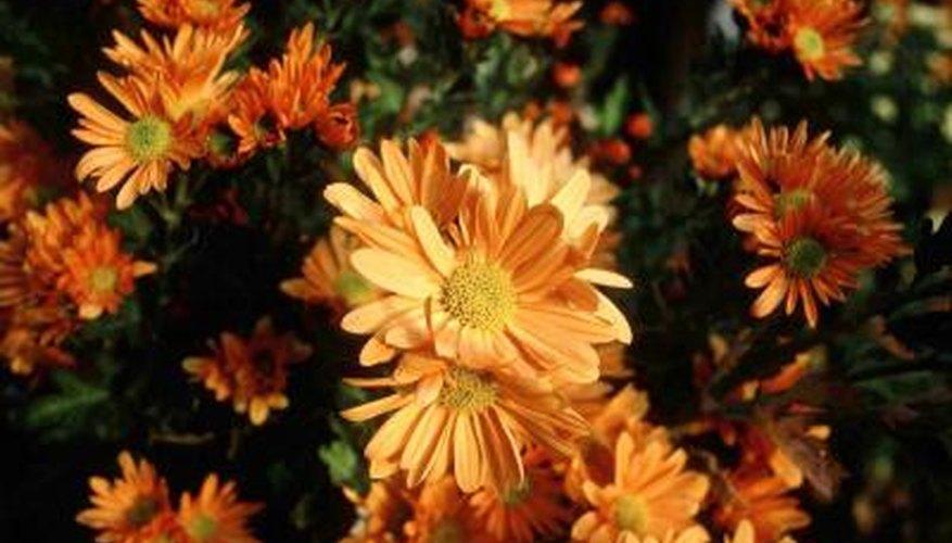 Nurseries force chrysanthemums to bloom out of season.