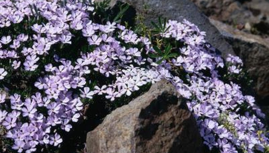 Creeping phlox grows low to the ground.