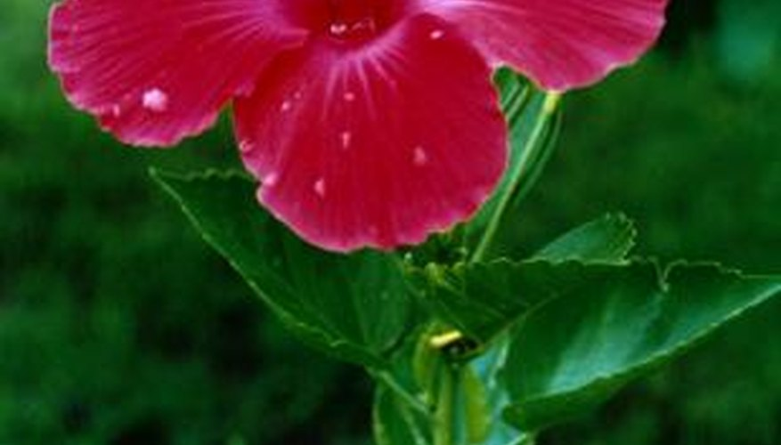 Lovely hibiscus flowers always have five petals.