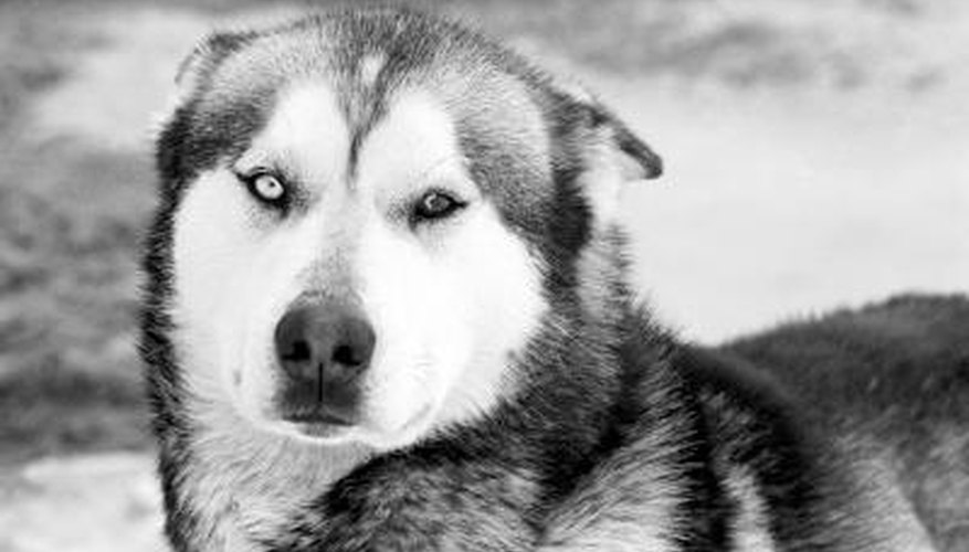 Siberian Huskies are family dogs, and were originally breed to be sled dogs.