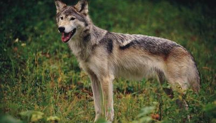 Before you begin your project, study some pictures of wolves.