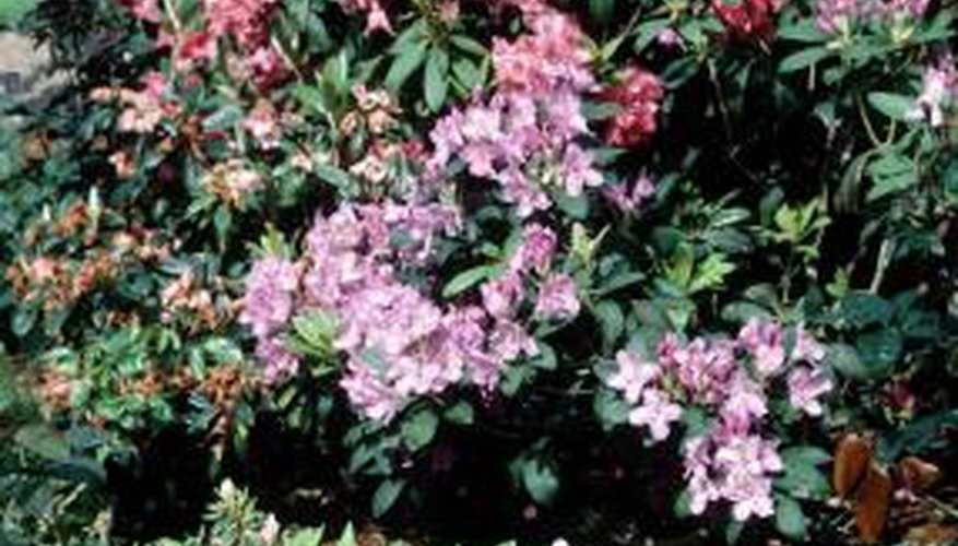 Rhododendrons grow in moderate climates with ample precipitation.