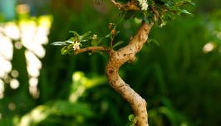 A bonsai's limited root space calls for frequent feeding.