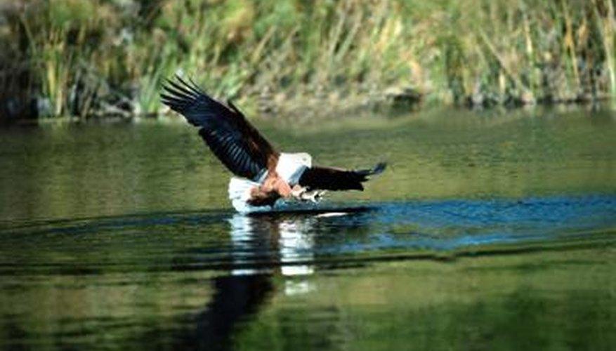 African fish-eagles patrol estuaries for fish and waterfowl.