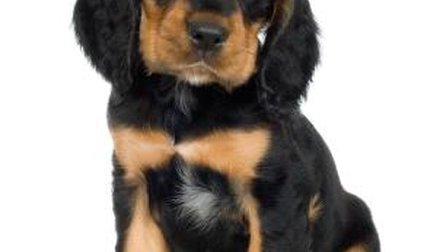 Rottweiler puppies with the white chest patch often make wonderful pets.