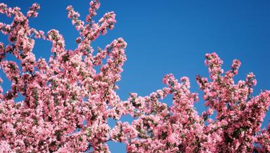 Cherry trees are prone to a number of insect-related problems.