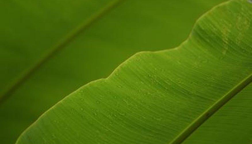 Banana leaves are large, flexible leaves.