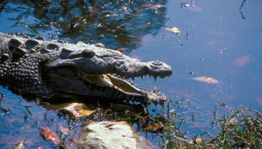 American crocodiles regularly utilize estuaries in South Florida.