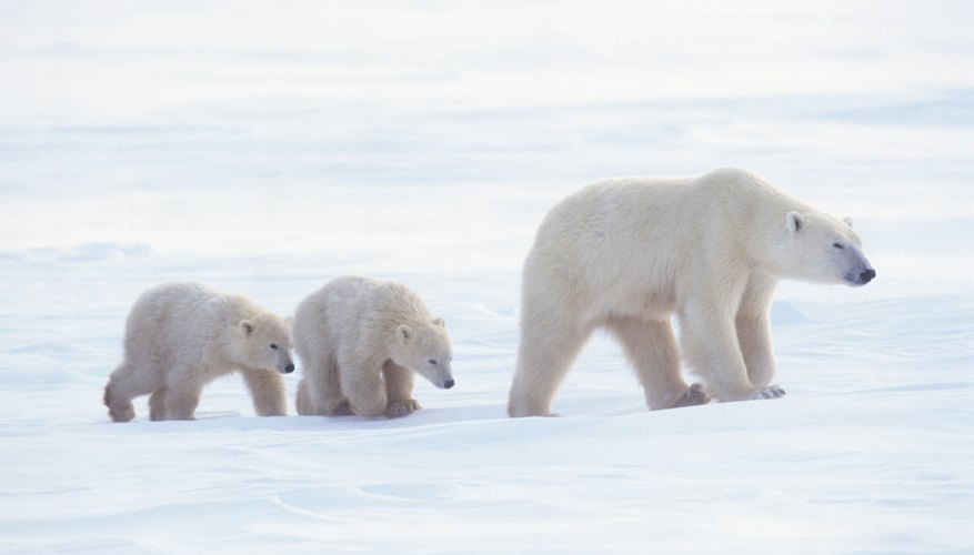A polar bear and her cubs walking through snow.