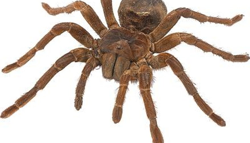 The Goliath bird eating spider is the largest in the world.