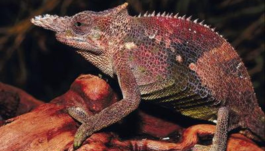 Chameleons have short lives, so they have very fast life cycles.