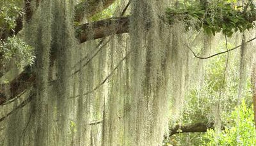 Spanish moss in a tree.