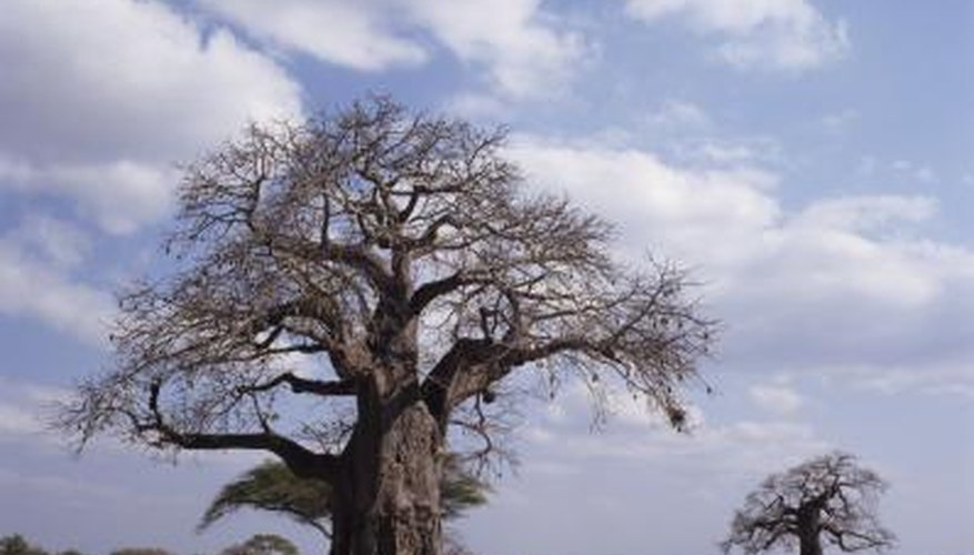 The baobab tree is extremely tolerant of drought conditions.
