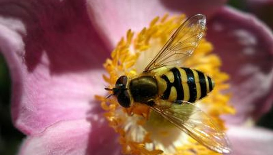 The hoverfly closely resembles a wasp or a small bee.