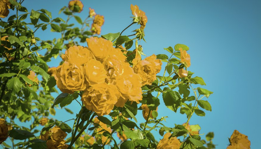 Look for caterpillars on your rose bushes.
