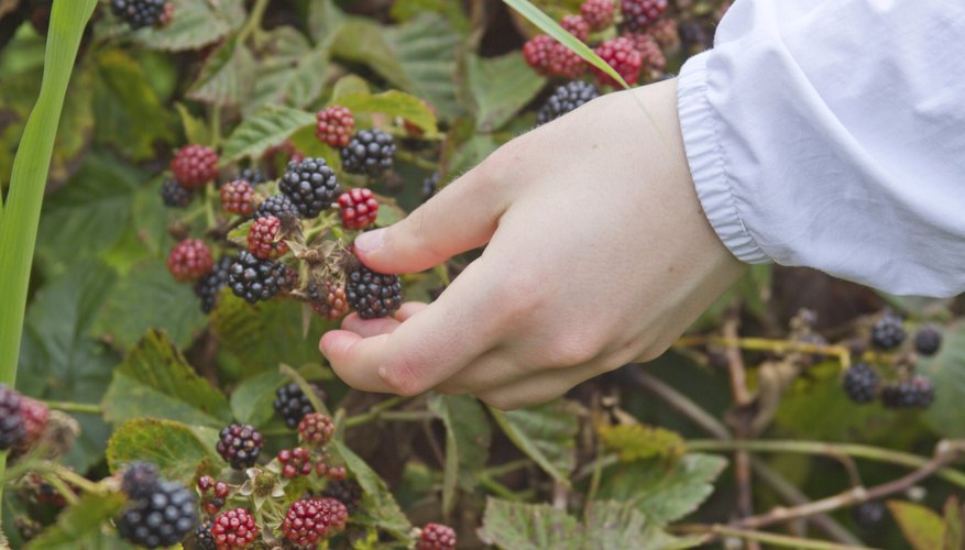 Close-up of hand picking berries