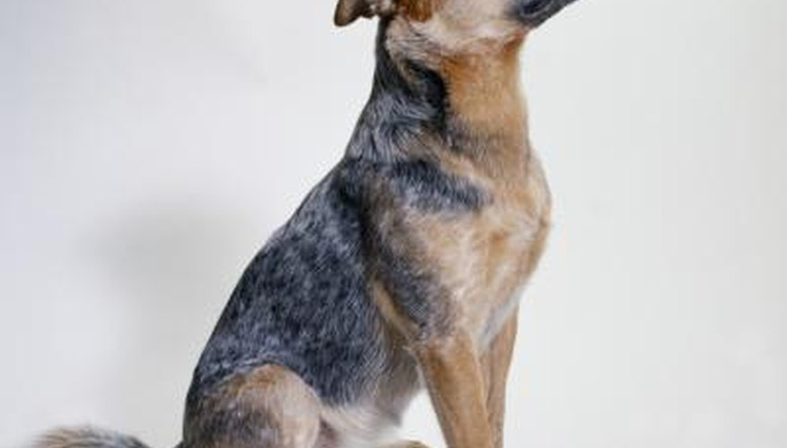The Australian blue heeler is an intelligent and highly active dog that makes a great companion for an experienced and active dog owner.