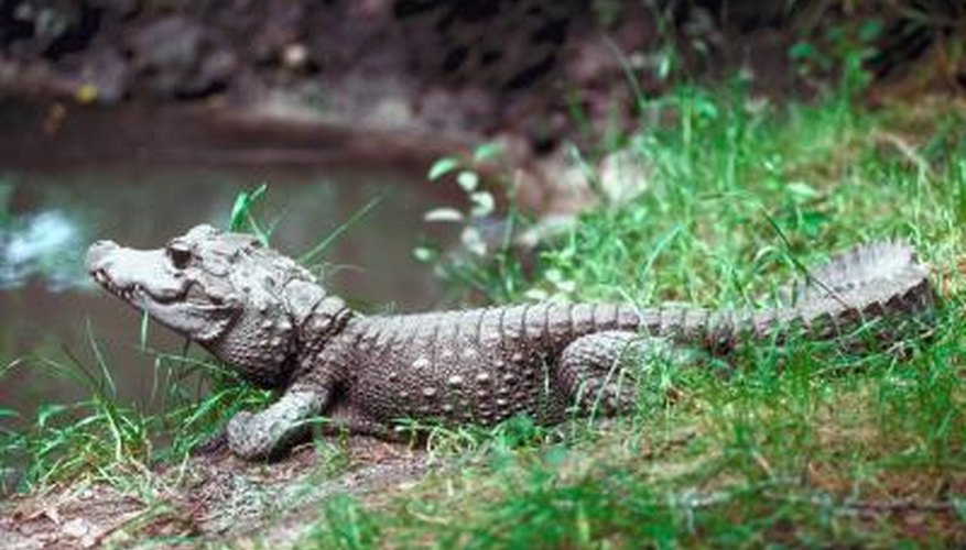 The upturned nose of the crocodile inspired the name of Crocs shoes.