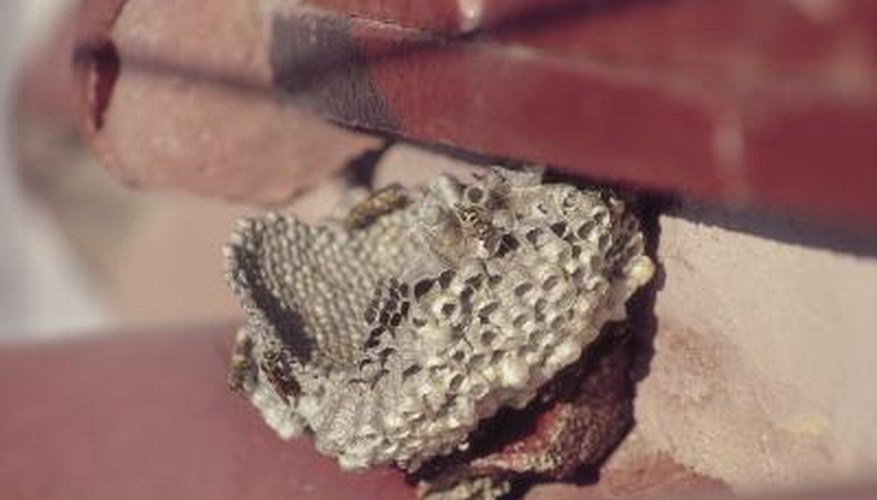 Hornets sometimes nest in human dwellings.
